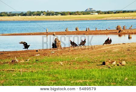 Buzzards Gather Beside Receding Lake
