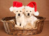 Two yellow lab Christmas puppies wearing Santa hats.  poster