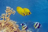 masked butterfly fish taken in the red sea. poster