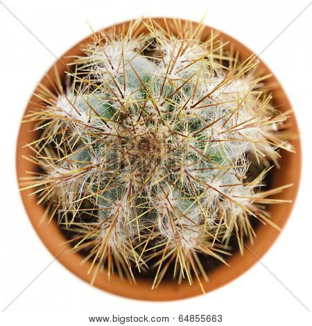 cacti cactus plant in flower pot top view isolated on white background poster