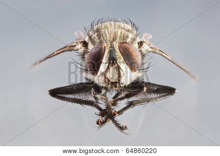 Extreme close up front view dirty died sarcophaga species fly isolated on gray background - stacked photo - deep focus image poster