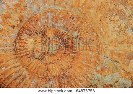Natural Amonite Fossil Background