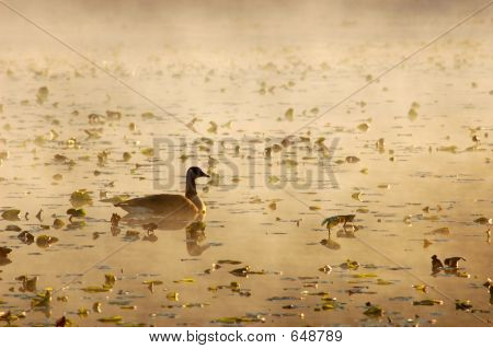Canada Goose On Golden Pond