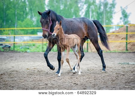 The two-day sports crossbred breed foal with his mother-mare walks in paddock on a rainy and cloudy day poster