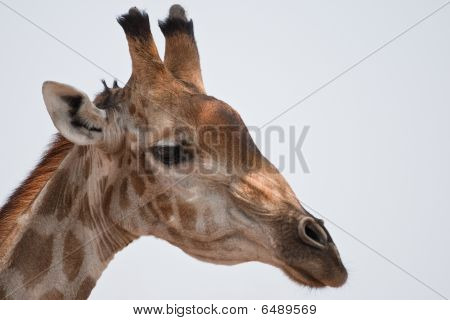 Portrait of a giraffe in southern Africa. poster