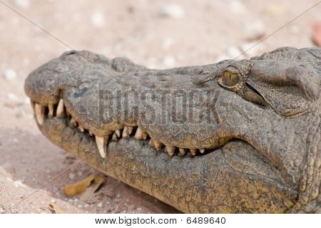 Portrait Of A Nile Crocodile In Southern Africa.