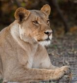 Portrait of a wild lion in southern Africa. poster