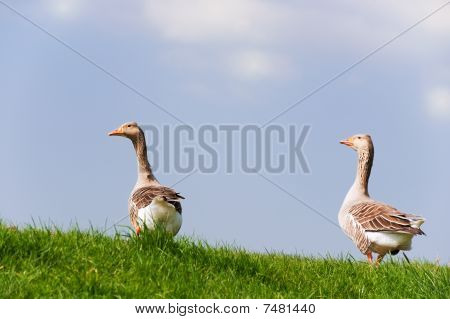 Couple Gooses