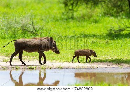 Warthogs near a water hole  in Tarangire national park in Tanzania