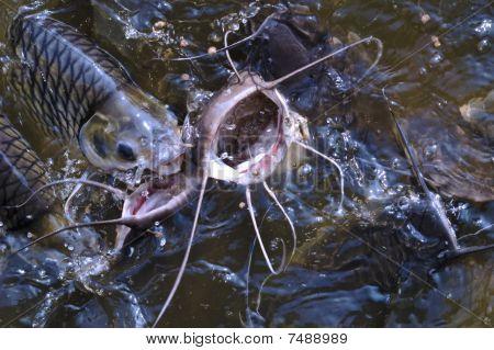 Catfish Feeding