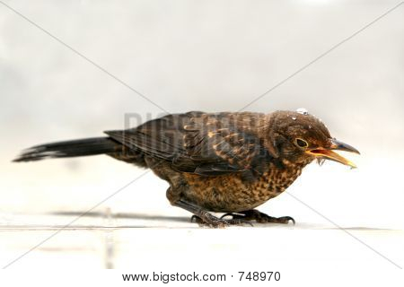 Thirsty bird - starling