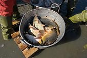 Autumn harvest of carps from fishpond to christmas markets in Serbia. poster