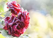 red frozen roses with ice in garden poster