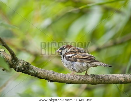 Small male sparrow sitting on a branch poster