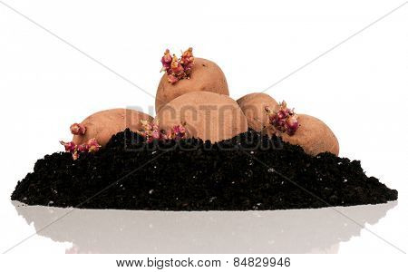 Old potatoes with sprouts in soil isolated on white background