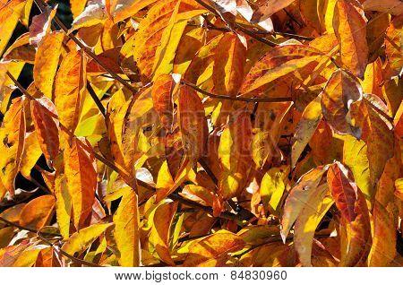 Persimmon tree leaves.