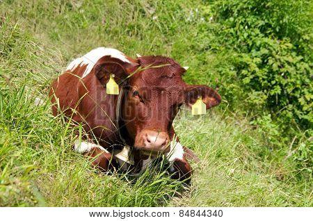 Cow Calf