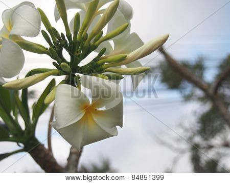 Burgeon And Blooming Plumeria Flowers