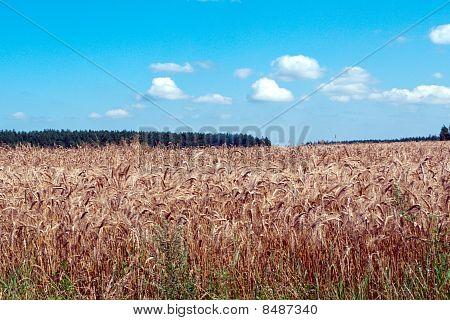 Wheaten hollow