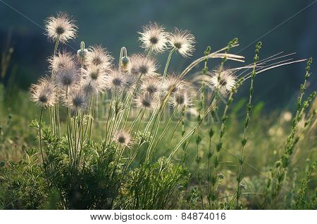 Withered flowers on a sunny meadow. Beautiful dandelion in the sunlight. Anemone pratensis