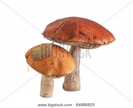 Orange-cap Boletus On White Background