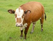 brown and white cow facing viewer poster