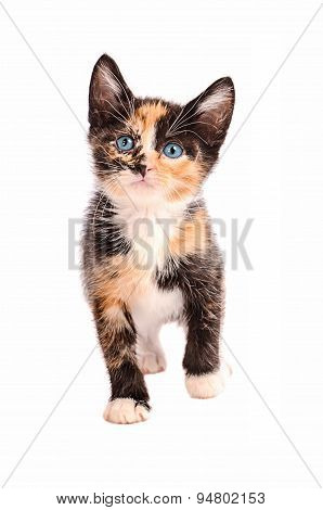 Adorable Calico Cat