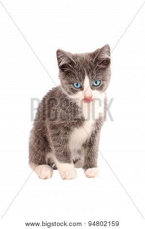 White And Grey Kitten