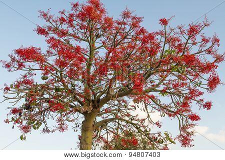 The Australian Brachychiton Acerifolius, Commonly Known As The Illawarra Flame Tree .