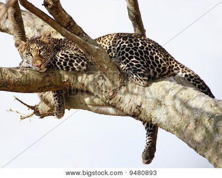 African Cheetah Predator Sitting