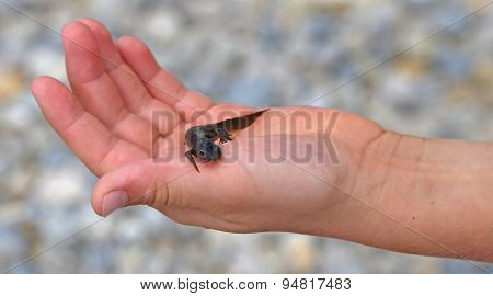 Newt Amphibious Animal On The Hand Of The Kid