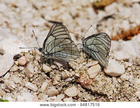 Aporia Crataegi Butterflies