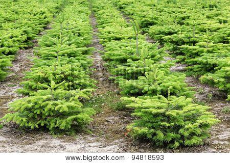 A nordmann fir plantation in Jutland, Denmark poster