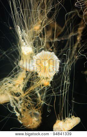 Jellyfish in the ocean