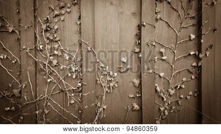 Climber Ivy, Hedera On Old Wooden Shabby Board
