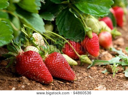 Fresh strawberries in blur natural green field background, fresh red strawberries, red strawberry