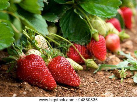 Fresh strawberries in blur natural green field background, fresh red strawberries, red strawberry