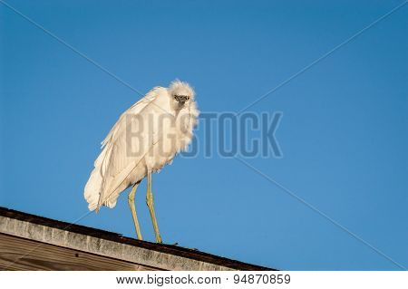 Snowy Egret Perched On A Covered Fishing Pier Roof