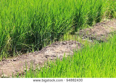 Growing Rice During Water Shortage