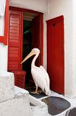 Famous pelican from the island of Mykonos near the tavern waiting for feeding poster