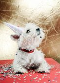 West highland white terrier with birthday party hat . poster
