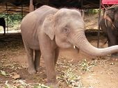 The largest animal on the earth an elephant is found in Asia and in Africa and gets divorced on farms the person poster