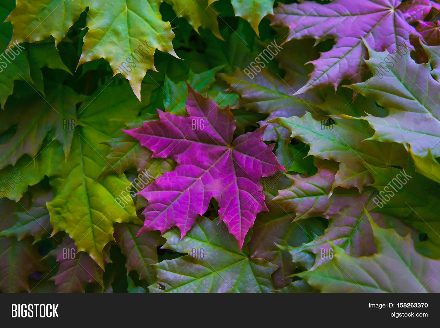 Maple Leaves Yellow Image Photo Free Trial Bigstock
