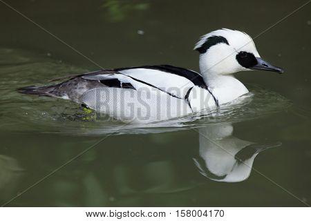 Smew (Mergellus albellus). Wildlife animal.