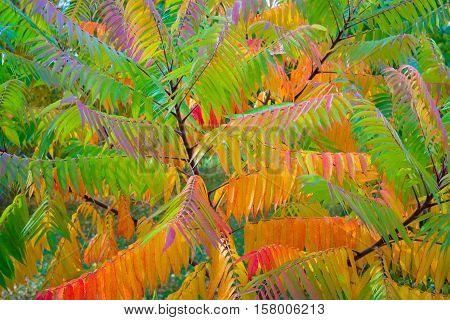 Tree staghorn sumac fall.The leaves of this tree was colorful autumn.You can see the entire color spectrum.