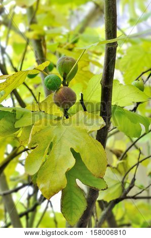 close on figs in the tree among foliage