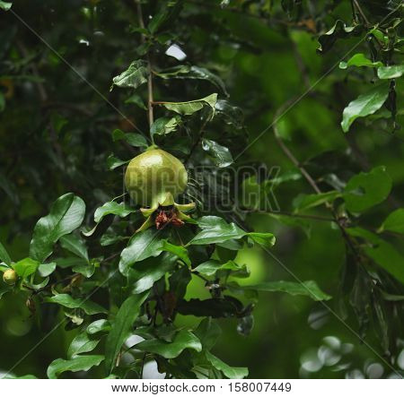 A pomegranate growing on a tree in the farm. Close up shot.
