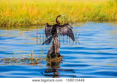 Chobe National Park on the Zambezi River, Botswana. Big Bird wings opened sitting on a tree among water. African cormorant dries its wings