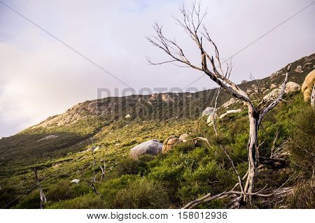Dead tree in front of hill in afternoon light in Wilson's Promontory National Park at Oberon Bay, Victoria, Australia