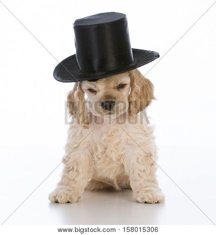 cocker spaniel puppy wearing top hat on white background